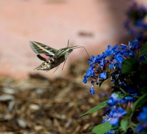 A hummingbird moth