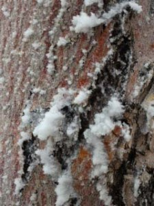 Bark of a skinny tree.
