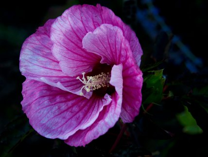 2nd element: hibiscus