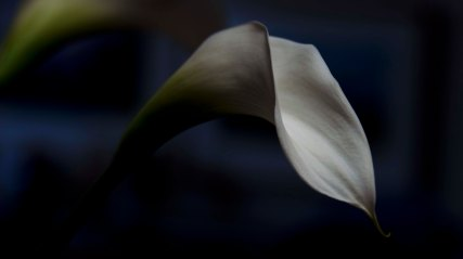 My triple package of flowers: Calla lily.
