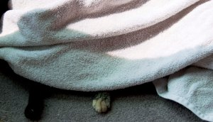 There is one cat under the towel.  She's happiest whenever she can burrow under anything.