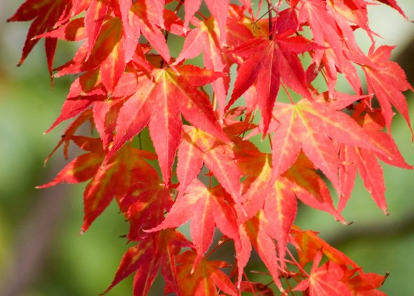 redmaple2